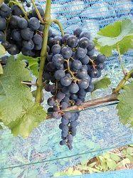 Pinotin Traube umgefärbt