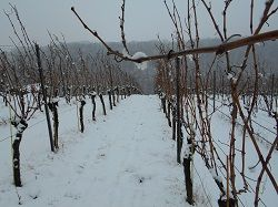 Winter im Weinberg