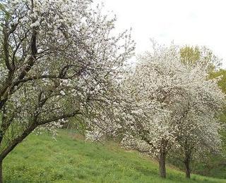 Öhringer Blüte