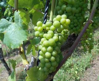 Im Pinotin beginnt das Umfärben der Beeren.