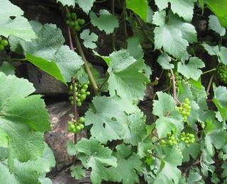 Der 2012-er Wein wächst heran